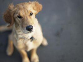 Un implante de microchip para perros