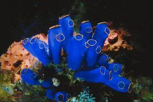 Maneras que las algas afecta a los arrecifes de coral