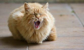 Comida para gatos con problemas dentales