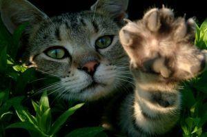 La artritis en los gatos