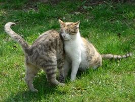 La cola de gato felina Los síntomas de tenia
