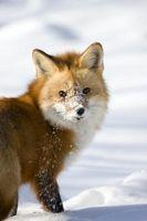 ¿Cuáles son los tratamientos para la sarna en los zorros?
