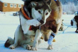 Cómo dejar de frotamiento con un arnés de perro