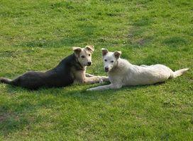 Los tumores del tracto urinario en los perros