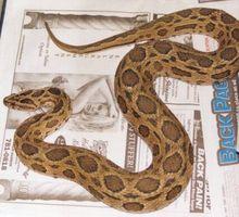 Sobre Serpiente peligrosa mayor parte del mundo