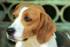 Cómo cuidar a perros Beagle