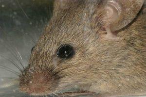 Lo que usted alimenta a los ratones salvajes?