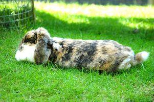 El tratamiento de la solitaria para Conejos
