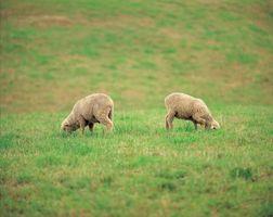 Estrategias de invierno para las cabras de alimentación