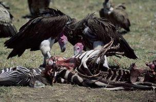 Diferencia entre halcones y buitres