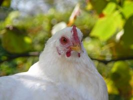 Las técnicas de inseminación artificial de aves de corral