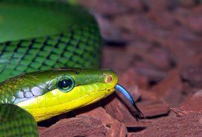 Cómo cuidar a una serpiente verde áspera