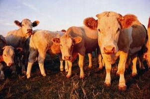 Como la leche fuera una vaca después del parto