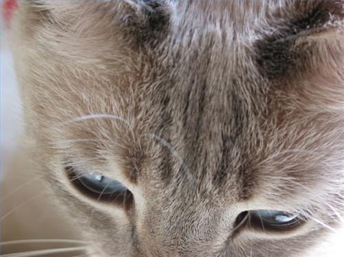 El linfoma intestinal en los gatos