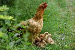 Las instrucciones para Hova-Incubadora del huevo