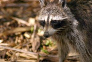 Los síntomas y las etapas de la rabia en un mapache
