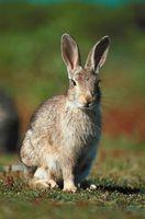 Cómo tratar una mordedura de conejo