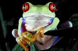 Cómo construir un habitat para una rana arbórea de ojos rojos