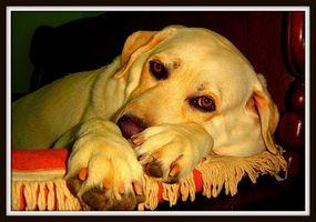 Qué es la enfermedad degenerativa del ojo en los perros?