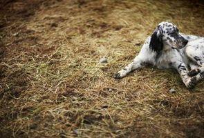 Cómo curar la capa de un perro huele mal