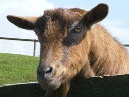 Cómo ordeñar una cabra que se inicia