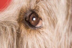 Las secreciones oculares en perros