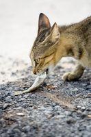 Los síntomas de un gato hambriento