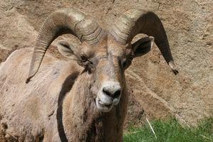 Sistema esquelético de una cabra