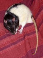 Isquemia cerebral en ratas