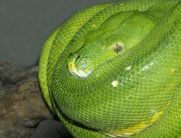 Cómo criar una serpiente del árbol verde