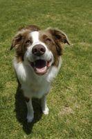 Remedios para las manchas marrones en la hierba causadas por la orina del perro