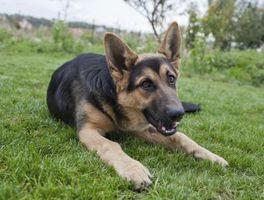 La neuropatía degenerativa en perros