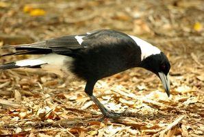 La dieta y el hábitat de las urracas