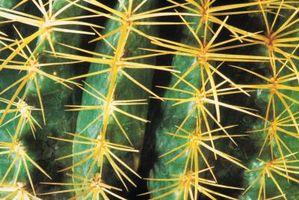 Cactus en la espina dorsal de la pata de un perro