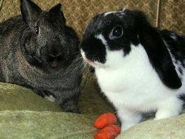 ¿Por qué los oídos de los conejos van abajo?