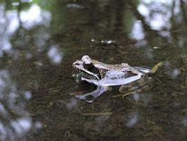 Cómo cuidar a las ranas acuáticas
