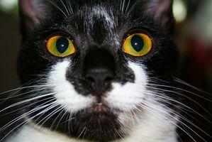Alrededor de una tiroides hiperactiva en los gatos