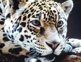 Lo que comen los leopardos Full-Grown?