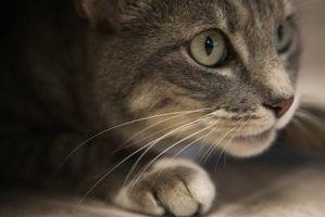 Cómo hacer que las barbas del gato con delineador de ojos