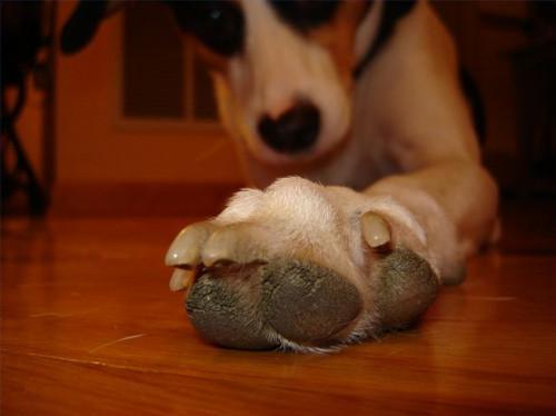 ¿Por qué una mordedura de perro sus uñas?