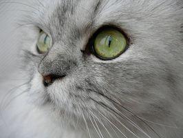 El tratamiento de la cistitis en gatos