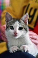 Cómo curar la infección del tracto urinario en los gatos