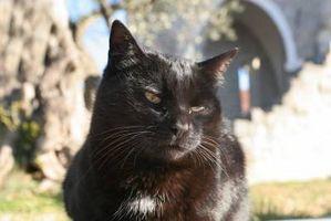 Los síntomas de gusanos del corazón en los gatos