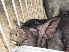 Instrucciones para construir un auto alimentador de cerdo