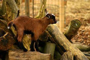 Cómo mezclar la leche de cabra Sustituto