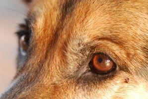 Las verrugas de los ojos del perro