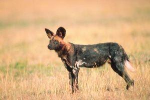 Perro salvaje africano vs pitbull