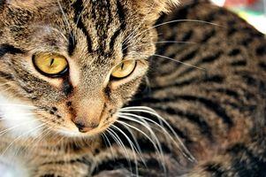 Remedios naturales para curar y evitar que las pulgas del gato