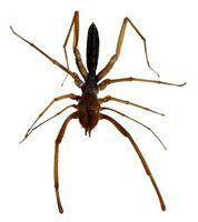 ¿Cómo deshacerse de las arañas marrones reclusas sin Daño a los humanos