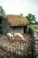 ¿Cómo resultó cerdos salvajes Se en el hogar?